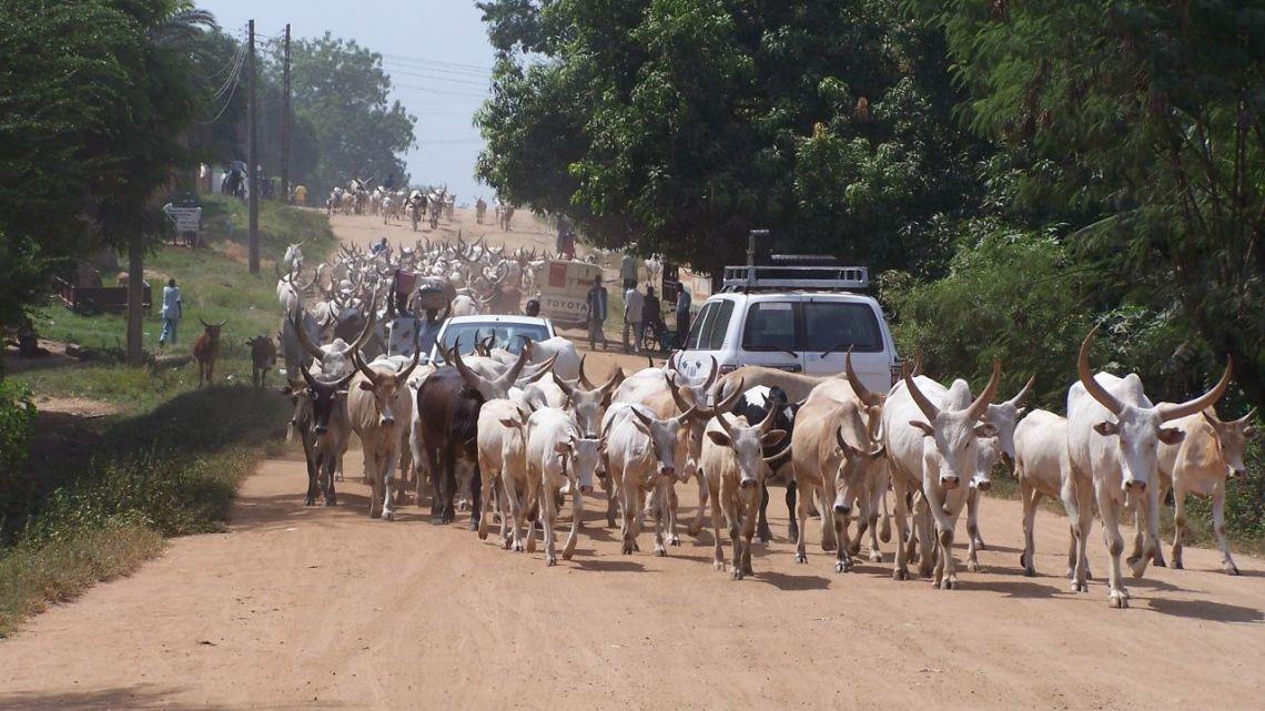 walki o bydło w sudanie