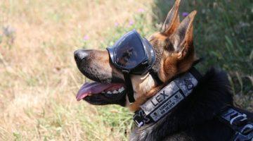 CAPS: Psy wojskowe mają nowe ochronniki słuchu