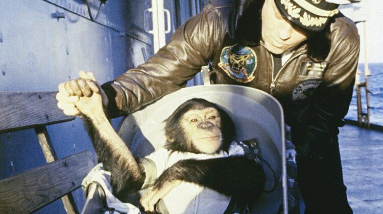 szympans Ham